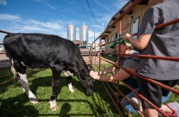A family pets a dairy cow at the University Farm.