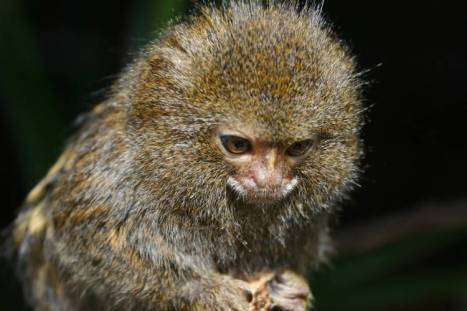 Even the tiny quarter-pound pygmy marmoset, the world's smallest monkey, devotes as much of its body energy to the brain as we do. Photo by Max Pixel.