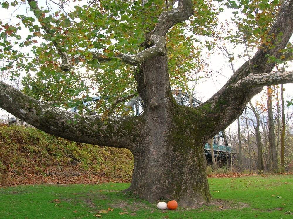 Pinchot_Sycamore_with_pumpkins,_Simsbury,_CT_-_Halloween_2012