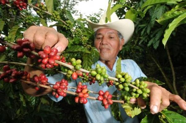 Robusta Planted in Nicaraguan Lowlands