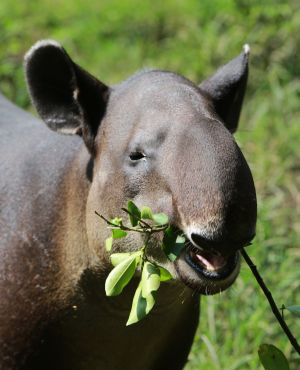 Nicaragua gears up to aid threatened tapirs