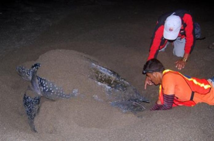 Patrol teams retrieve eggs from a leatherback nest for relocation to a secure hatchery. Credit: Heydi Salazar/FFI Read more at: http://phys.org/news/2014-11-leatherback-turtle-season-nicaragua.html#jCp