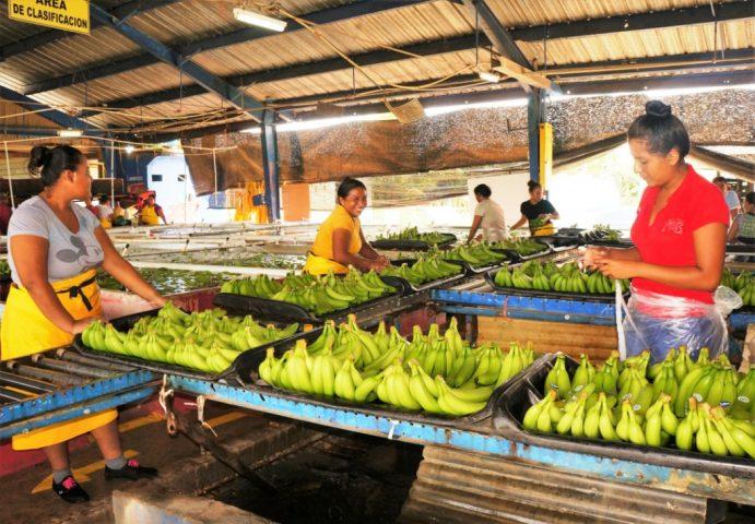 Nicaragua Banana Production Increases in Price