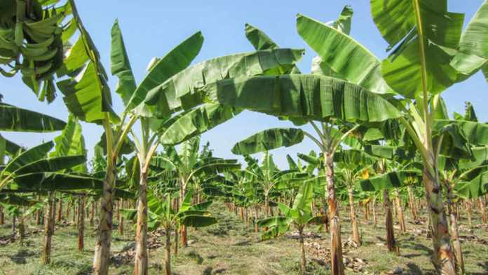 Devastating banana disease may have reached Latin America, could drive up global prices
