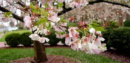 Pink and white flowers on cherry tree