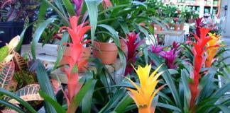Exotic flowers on Bromeliad houseplants