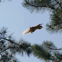 Squirrel jumping from tree to tree