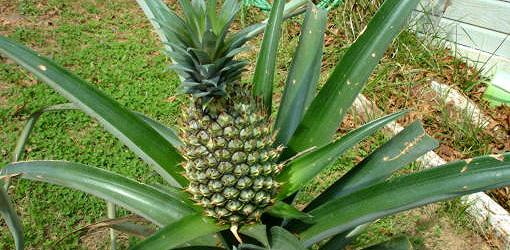 Pineapple plant with pineapple growing on top