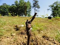 Planted grapevine