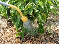 Watering bell pepper plant.