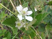 White flower blooming on berry vine