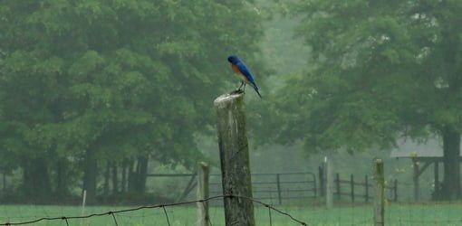 Bluebird in profile perched on fence post.