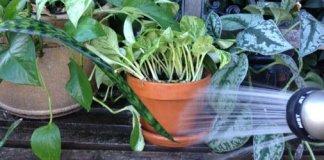 rinsing houseplants