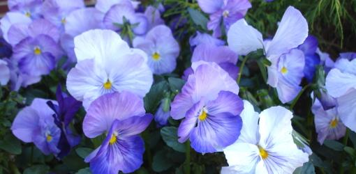 Blue pansy flowers blooming.