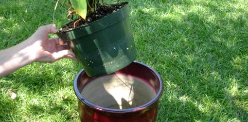 Putting plastic pot with plant inside ceramic container.