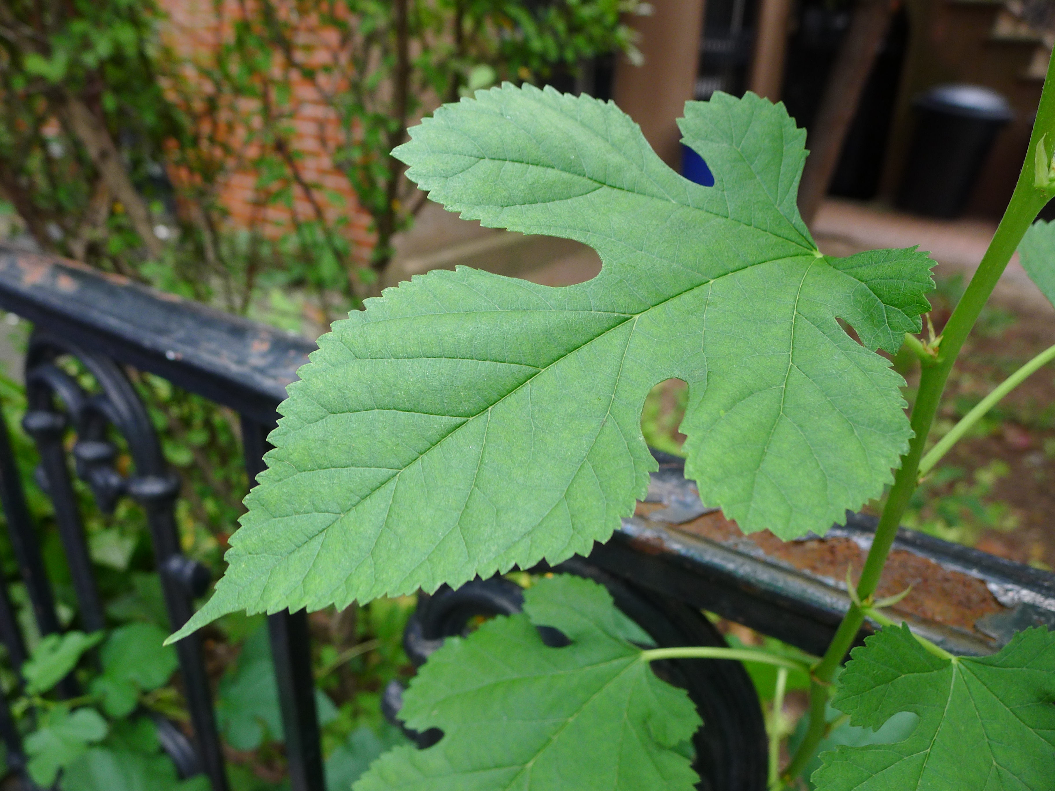 Id Common Leaves Worksheet