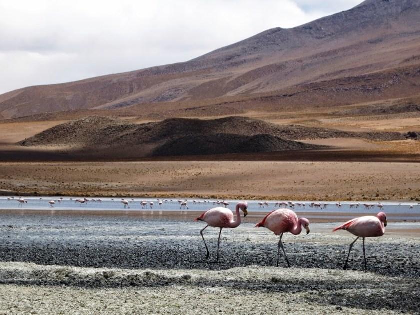 Flamingo_3