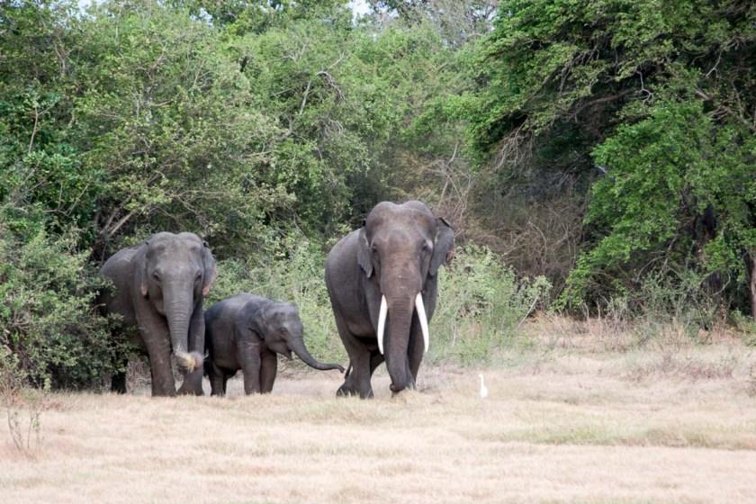 minneriya nationalpark elefanten stoßzähne