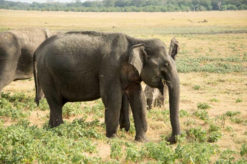 minneriya nationalpark elefanten safari