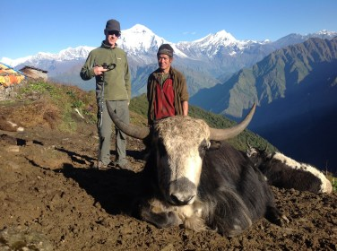 An Australian family we met in nepal 2012 donated a yak to the Nangi community. They asked if I could track it down for a photo. We're pretty sure this is the one.