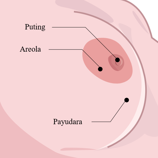 Structure of the breasts