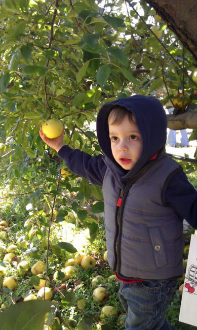 Royal Oak Farm - Dexter picking apples - Toddling Around Chicagoland