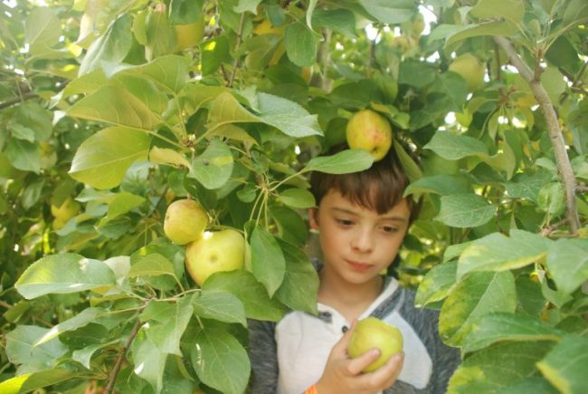 Cooper in an apple tree at All Seasons Apple Orchard
