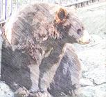 Black bear in Bear Mountain State Park