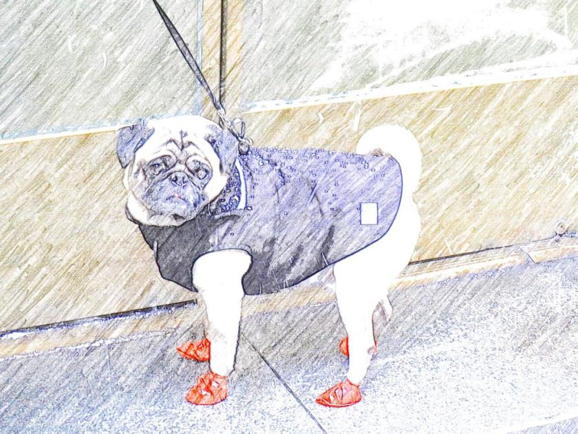 New York - Snowstorm Juno - How to dress for Snow Storm Juno if you're a Manhattan Pug