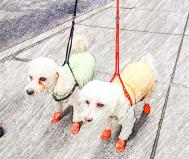 Matching pastel coats and orange rubber bootees - spotted on Wall Street - New York Dogs