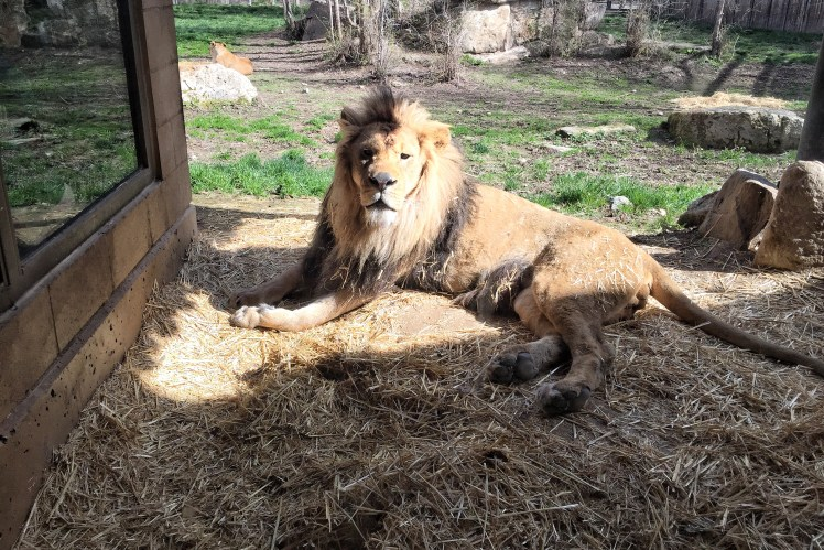 Boise with Kids: Zoo Boise Lion
