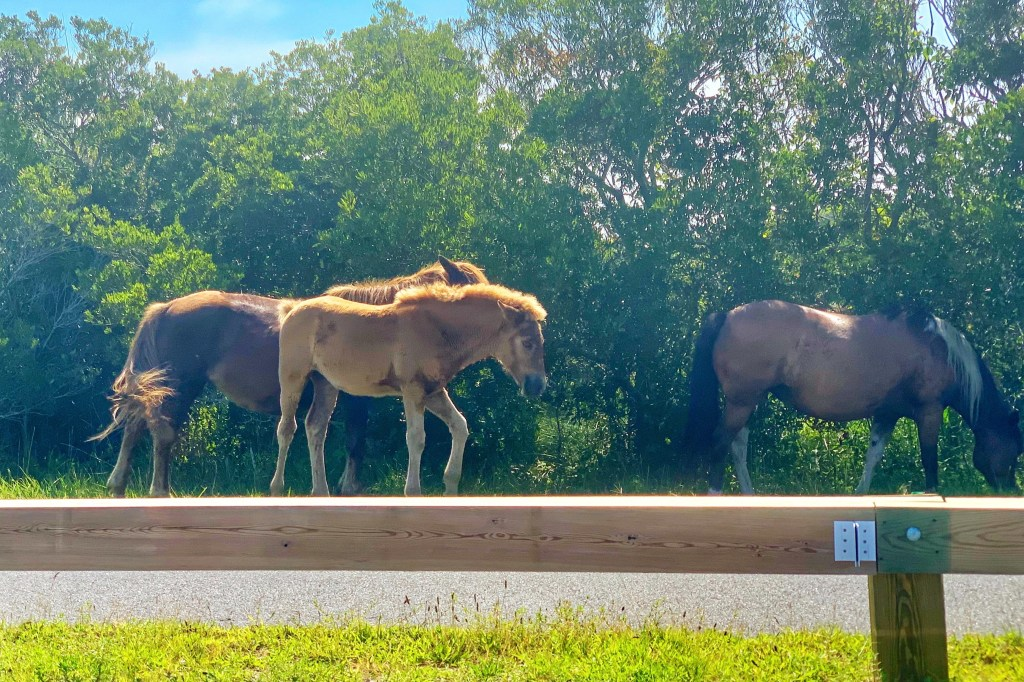Assateague Island Wild Horses Beaches Near West Ocean City, MD