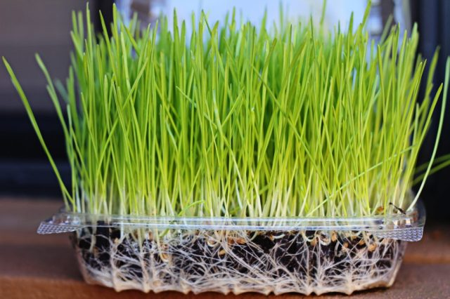 Todd's Seeds - Wheatgrass Seeds - Growing in Soil