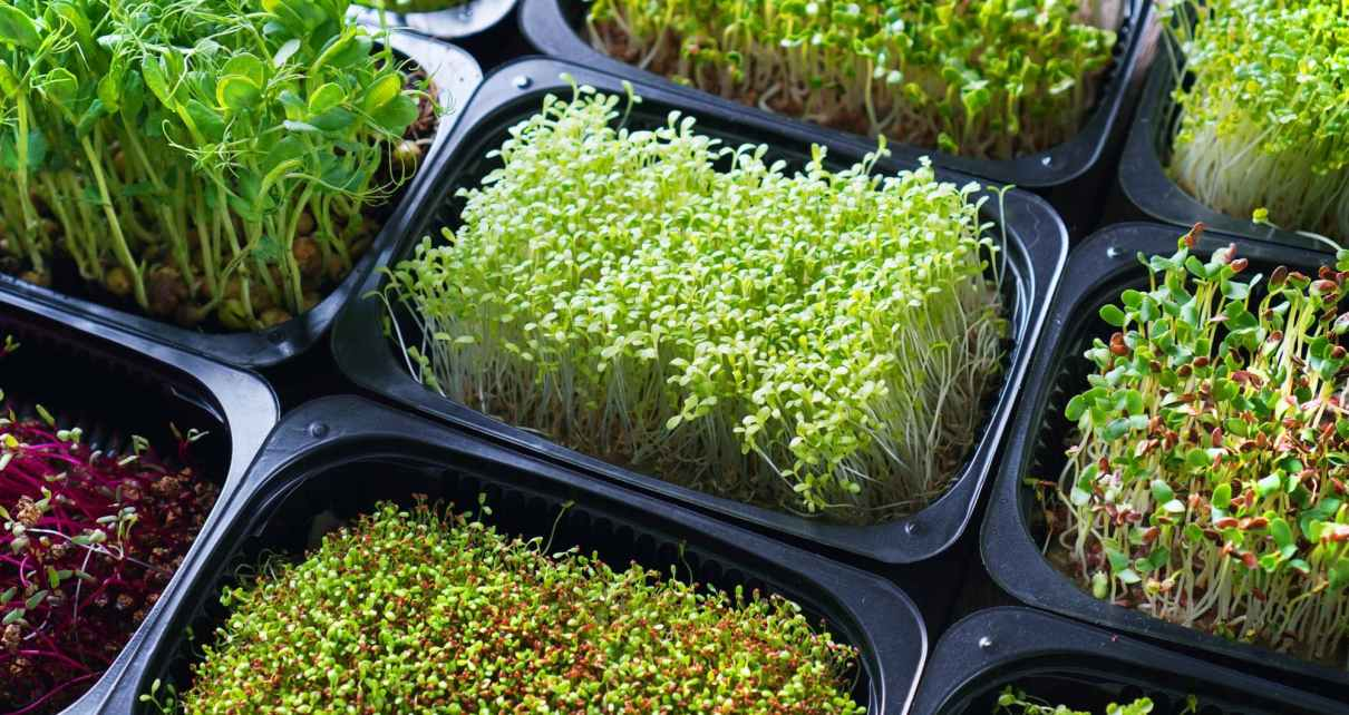 microgreen trays
