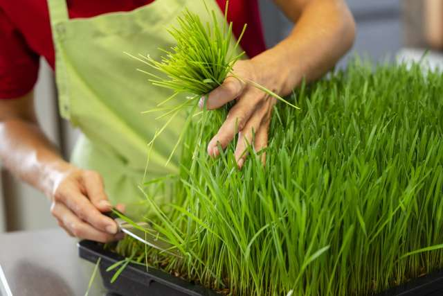 harvesting wheatgrass microgreens