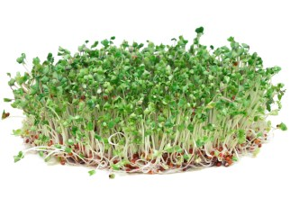 Todd's Seeds Broccoli Sprouts