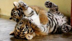 nacimiento-de-los-cachorros-de-tigre