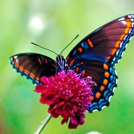 colores-mariposas