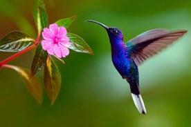 colibrii