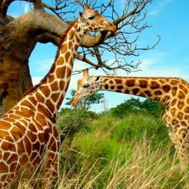 como-son-las-jirafas