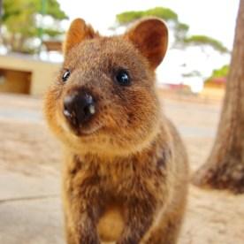 Quokkas on the Rottnest Island in Australia.