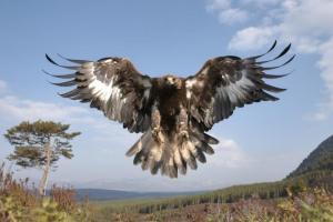 Comprometidos con el águila real
