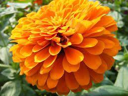 flor cenpasuchil