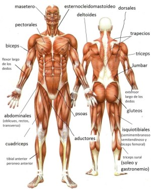 Músculos del Cuerpo Humano » Tipos, Nombres y Funciones