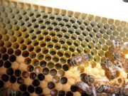 nurse bees, eggs, and larvae