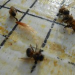 Young bees killed by the formic acid.
