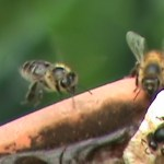 honey bees at the drinkin hole