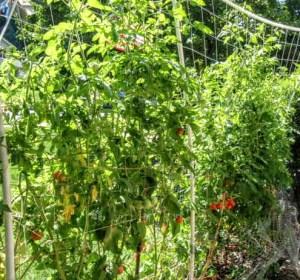 1st season tomatoes 2009