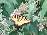 Butterfly Bush in the backyard suburb
