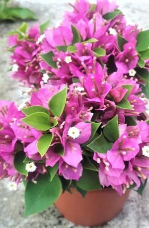 planta bouganvillea mini tahi